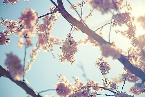 Фотодневник. Сакура, Маньчжурские абрикосы